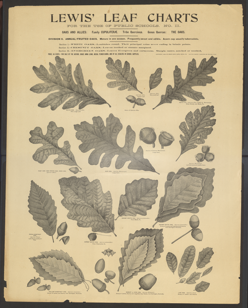 Graceanna Lewis leaf charts, item ID: A00185904. Lewis-Fussell Family Papers, SFHL-RG5-087, Friends Historical Library of Swarthmore College.